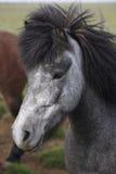 Iceland. Black and white icelandic horse head. royalty free stock photography