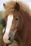 Iceland. Brown icelandic horse heads. Royalty Free Stock Image
