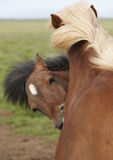 Iceland. Brown icelandic horse heads. Stock Photo