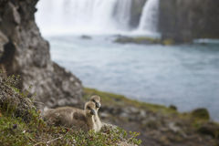 Iceland. A couple of icelandic eider ducklings and Godafoss wate Royalty Free Stock Image