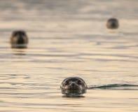 Iceland day. Photo taken at Lake Jokulsarlon Iceland. seals resting Royalty Free Stock Images