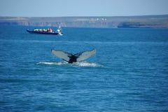 Iceland garbu dorsalnego żebra whiteack wielorybi wieloryb obrazy royalty free