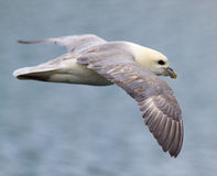 Iceland Gull. In flight in Iceland Stock Photo