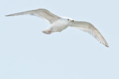 Iceland Gull Stock Photography