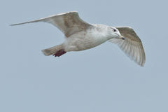 Iceland Gull Royalty Free Stock Images