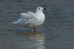 Iceland Gull Royalty Free Stock Photos