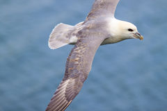 Iceland Gull Royalty Free Stock Photo