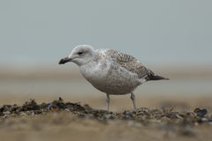 Iceland gull Larus glaucoides Stock Photo