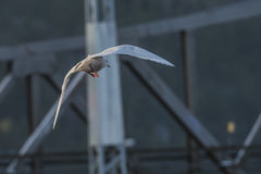 Iceland Gull, Larus glaucoides (in Norwegian Grønnlandsmåke) Stock Photos