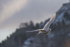 Iceland Gull, Larus glaucoides (in Norwegian Grønnlandsmåke) Stock Photo