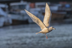 Iceland Gull, Larus glaucoides (in Norwegian Grønnlandsmåke) Royalty Free Stock Photo