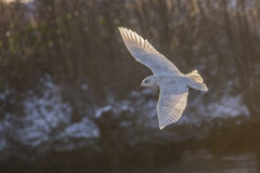 Iceland Gull, Larus glaucoides (in Norwegian Grønnlandsmåke) Stock Photography