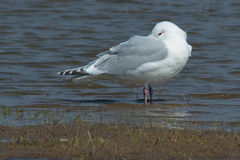 Iceland Gull Royalty Free Stock Photography