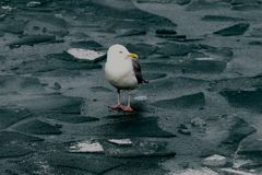 Iceland Gull. This is a Winter picture of an Iceland Gull on the ice on Lake Michigan at Navy Pier located in Chicago, Illinois in Cook County. This picture was stock photos