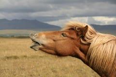 Iceland horse stock photo