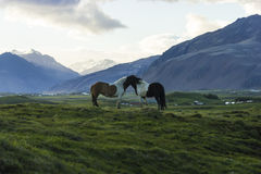 The Iceland horse, or even Icelanders Icelandic horse called, is Royalty Free Stock Image