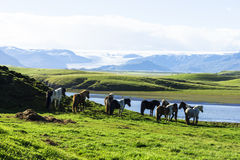 The Iceland horse, or even Icelanders Icelandic horse called, is Stock Image