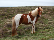 Iceland horse Stock Images