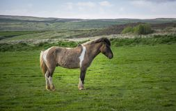 Iceland horse. Icelandic horse staring. Icelandic horse is endemic to the region of Iceland Stock Images
