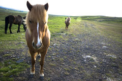 Iceland horse Stock Images