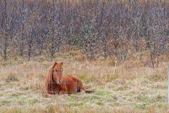Iceland Horse Lying on the Ground. stock images