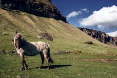 Iceland Horse Stock Image