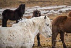 Iceland horse Royalty Free Stock Photos