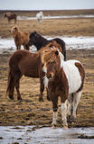 Iceland horse. This is a photo of Iceland horse Royalty Free Stock Photography