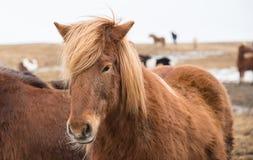 Iceland horse Stock Photos