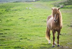 Iceland horse. Staring. This horse is endemic from iceland Royalty Free Stock Images