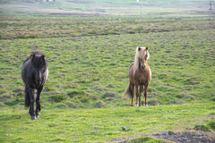 Iceland horse. Staring. Icelandic horse is endemic to the region of Iceland Royalty Free Stock Photo