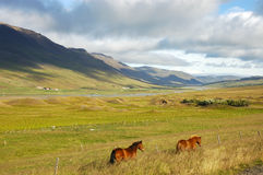 Iceland horses. Icelandic landscape with horses seen from car window Royalty Free Stock Photo