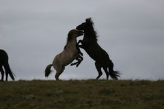 Iceland horses Royalty Free Stock Photo