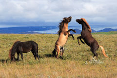 Iceland Horses. Wild horses frolic in an island meadow Royalty Free Stock Images
