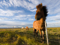 Iceland horses. Beautiful Iceland horses in a pasture, with a horse with mane into the wind Royalty Free Stock Photo