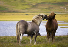 Iceland Horses. Beautiful Iceland Nature and horses exchanging kisses Stock Image