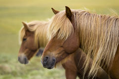 Iceland Horses. Beautiful Iceland Nature and horses in open field Royalty Free Stock Photography