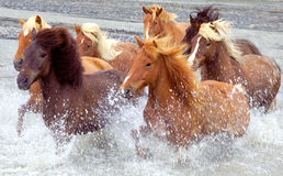 Iceland horses. Horses run across the river stock photo