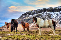 Iceland horses herd Royalty Free Stock Photo