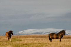Iceland horses Royalty Free Stock Photos