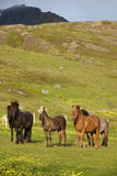 Iceland horses Stock Photos