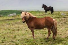 Iceland. Horses Stock Photo