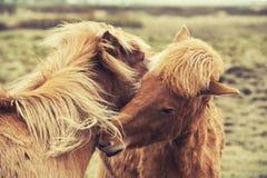 Iceland horses pony Stock Images