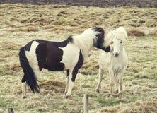 Iceland horses pony Royalty Free Stock Photography