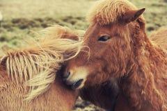Iceland horses pony Stock Photos