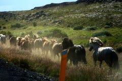 Iceland horses running Royalty Free Stock Image