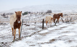 Iceland horses stand on snow-covered meadow Stock Image