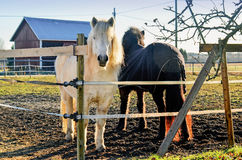 Iceland horses Royalty Free Stock Images