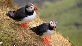 Iceland 2012. Iceland Atlantic puffin in summer 2012 Stock Images