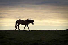 Iceland: Icelandic horse Royalty Free Stock Photography